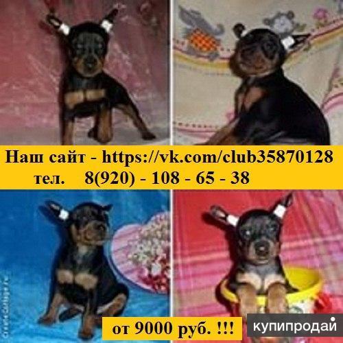Продам щенков карликового пинчера(цвергпинчера)