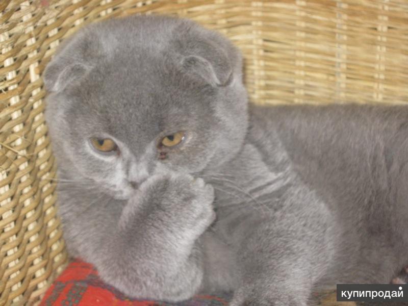 клубный подрощенный голубой вислоухий котик