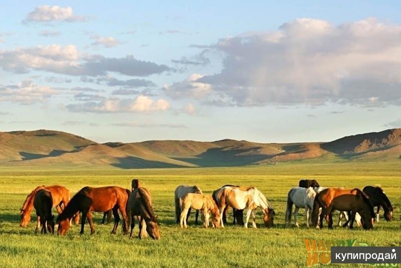 Покупаем лошадей  и крупно рогатый скот живым весом или ценой за голову