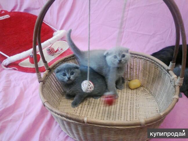 Клубная лиловые котята