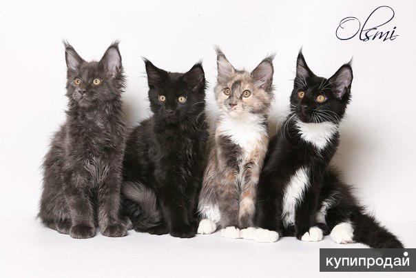 Замечательные котята мейн-кун