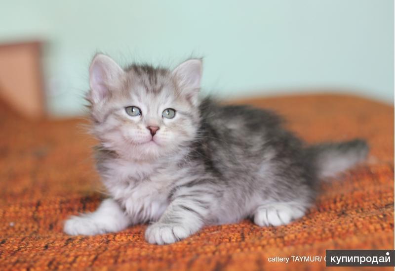 Настоящие сибирские котята