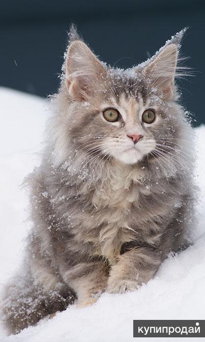 Мейн-кун, супер котята