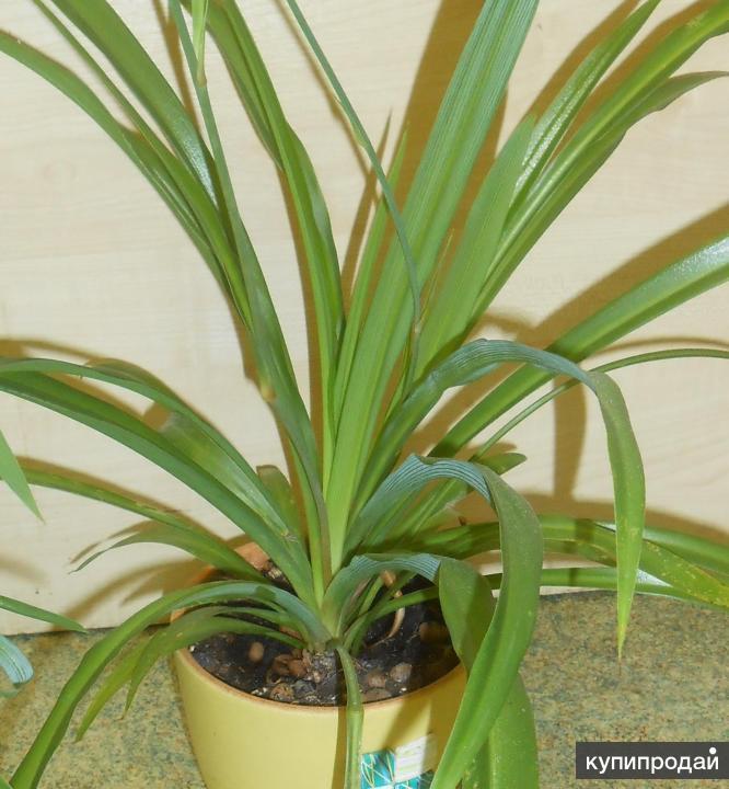 Хлорофитум (Chlorophytum) в керамическом горшке
