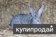 Сдаю живым весом кроликов