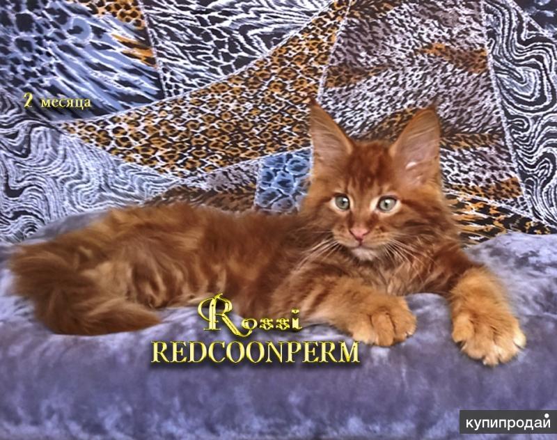 Котята мейн кун - уникального тёмного красного окраса