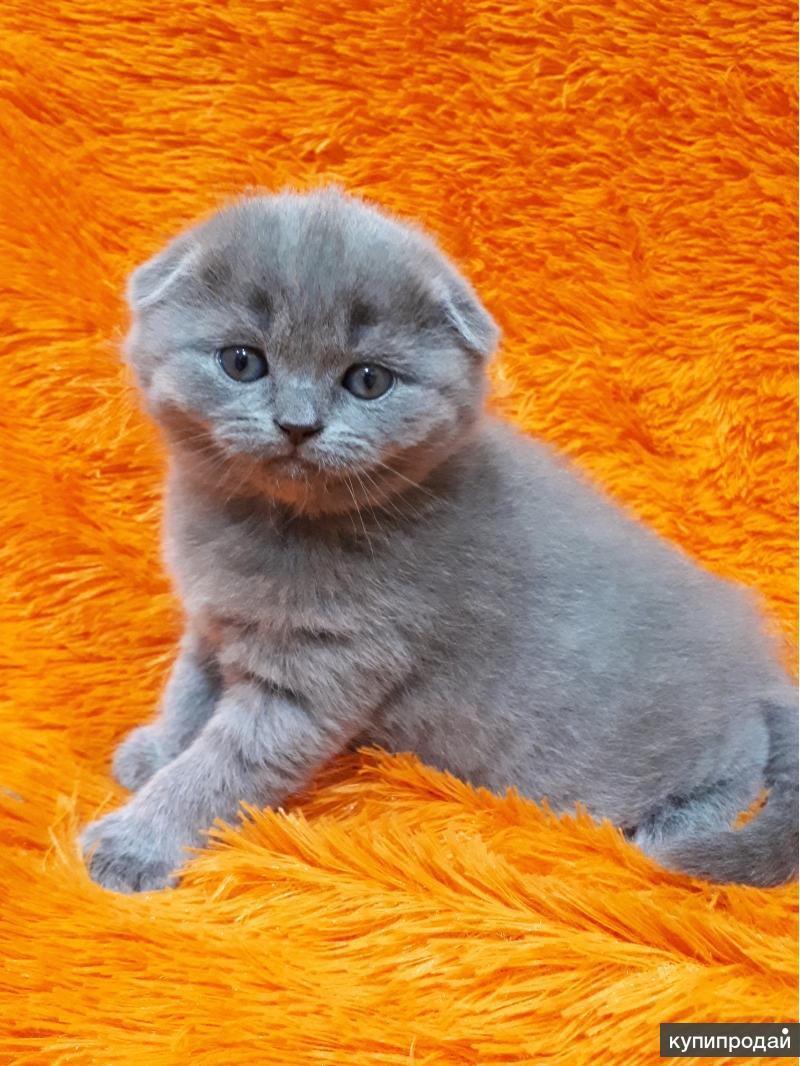 Продам очаровательных котят Шотландской породы рождённых 15.02.18.