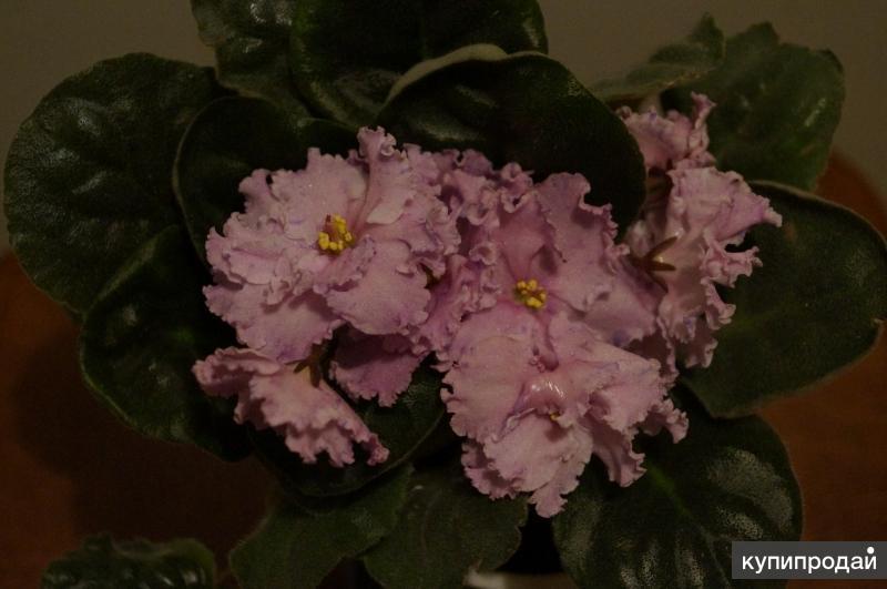 Узамбарская фиалка (сенполия), молодое растение