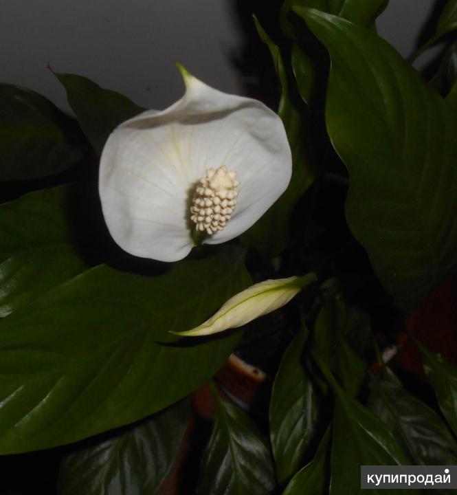Спатифиллум (Белый парус, Женское счастье)