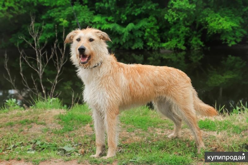 Изумительнейший молодой пёс ищет дом