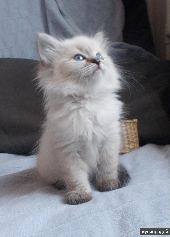Белые пушистые котята сургут фото