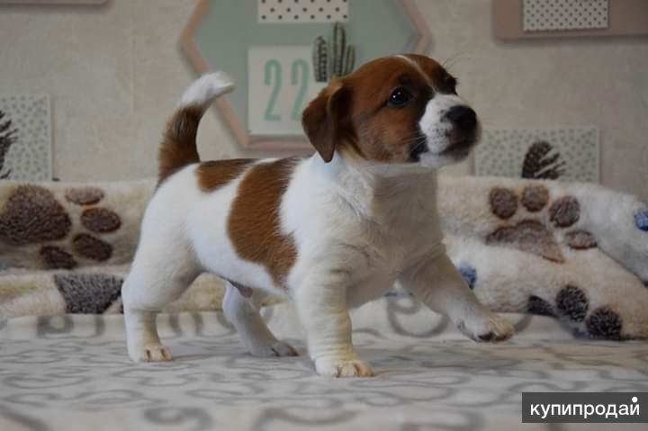 Лучший подарок -клубный щенок Джек Рассел терьер