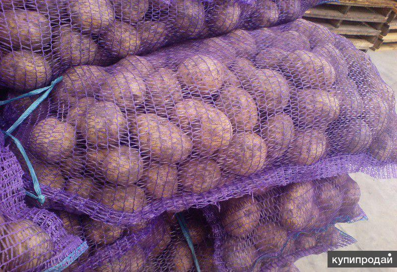 Картофель калиброванный 5+ оптом со склада КФХ в Орле