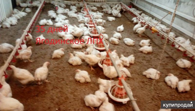 Цыплята бройлерные Кобб 700 (Арбор Айкриес), корма для птицы.