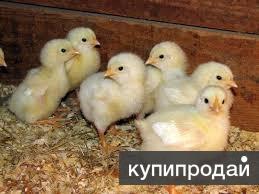 Суточный цыпленок бройлер Арбор КОББ 700 Оптом и в розницу