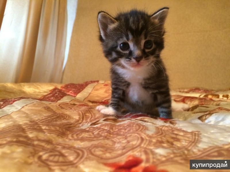 Продаю котёнка Мейн-кун