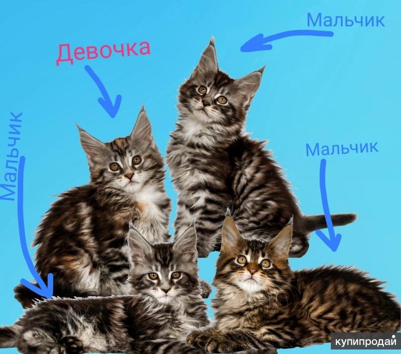 Продам котят мейн-кун.