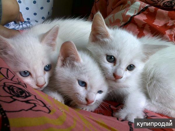 Котят,породы Турецкая Ангорка разноглазые