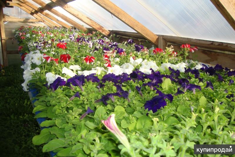 Рассада однолетних, многолетних цветов, лекарственных трав 2015