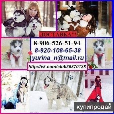 Красивенькие щеночки сибирской хаски