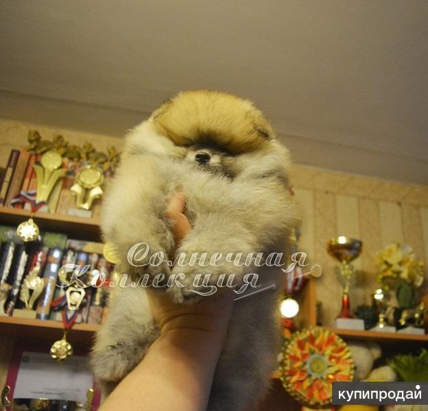 Продаются щенки померанского шпица Окрасы разные -тип мишка