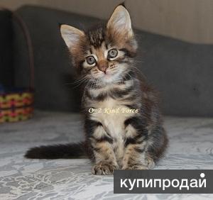 Крупные котята мейн кун редких окрасов