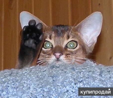 Шикарный Абиссинский котик