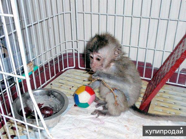 обезьянка капуцин