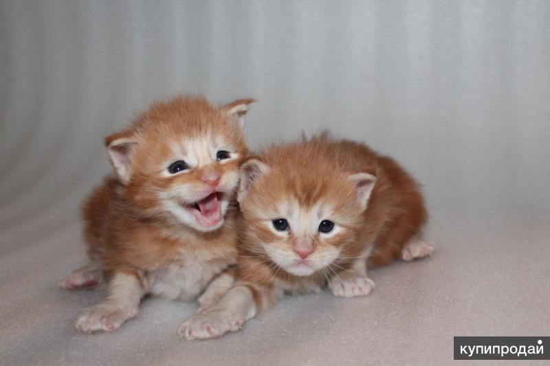 Свободны для резерва котята мейн-куны: