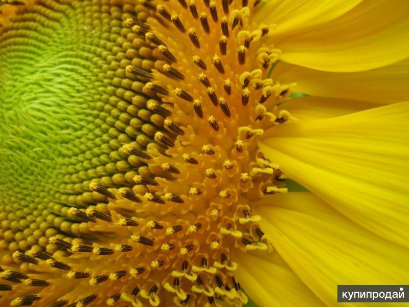 Семена гибридов подсолнечника