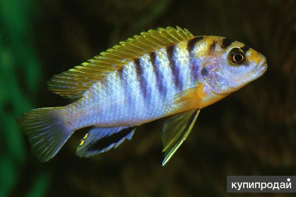 Лабидохромис Хонги ( Labidochromis spec 'Hongi'
