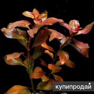 Растение аквариумное Людвигия красная