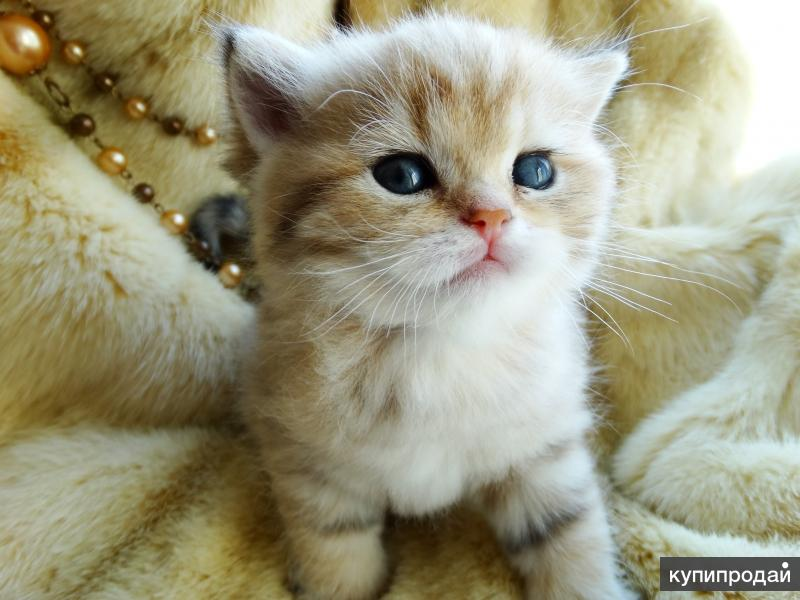 Британский котенок Yuvelir