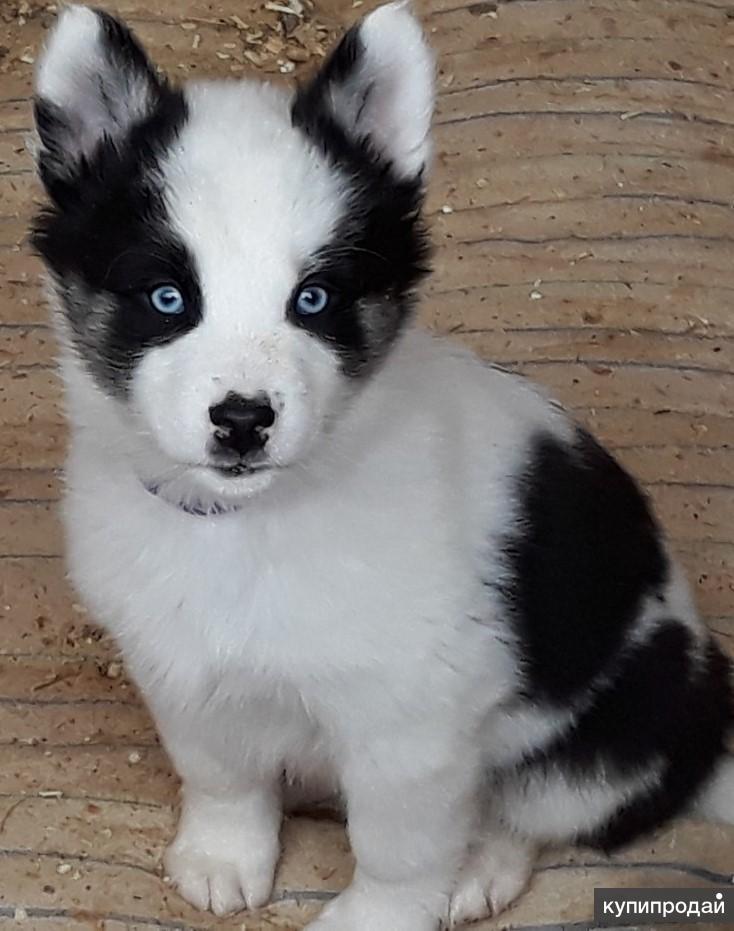 фото собак лаек черно-белого окраса
