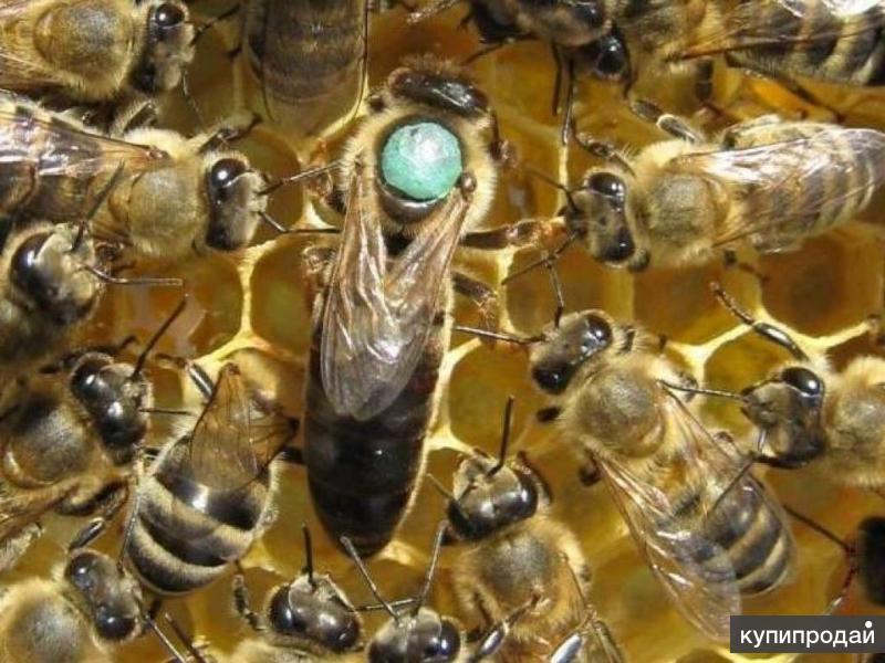 Пчеломатка Карпатка в наличии