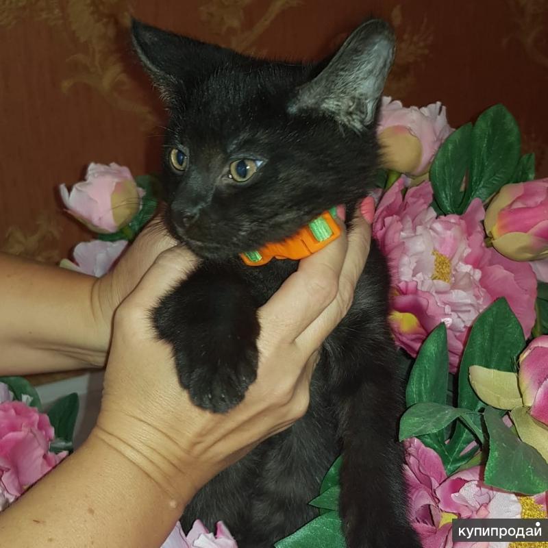 Котёнок Чаузи f1