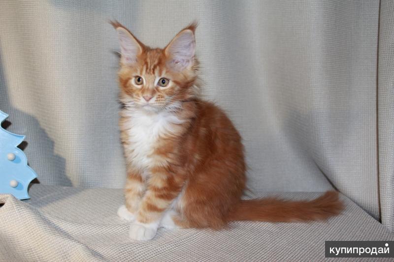 Солнечные котята Мейн-Кун