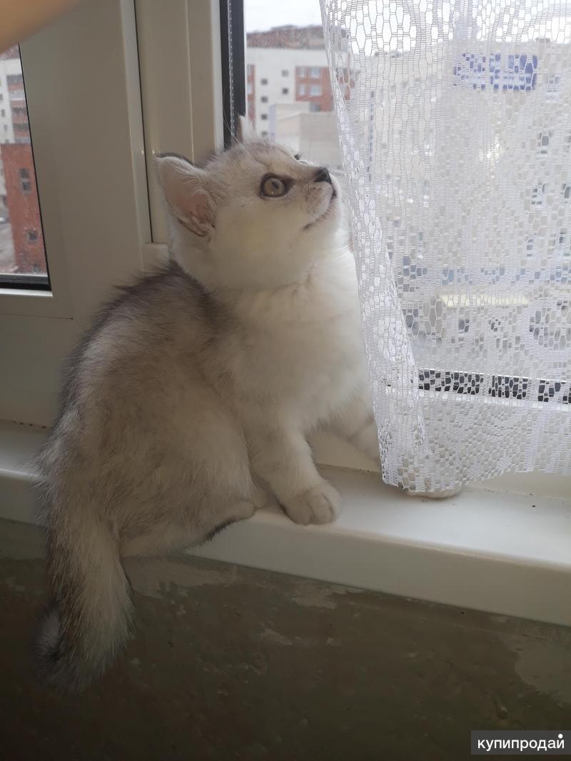 Кот шиншиловый британский