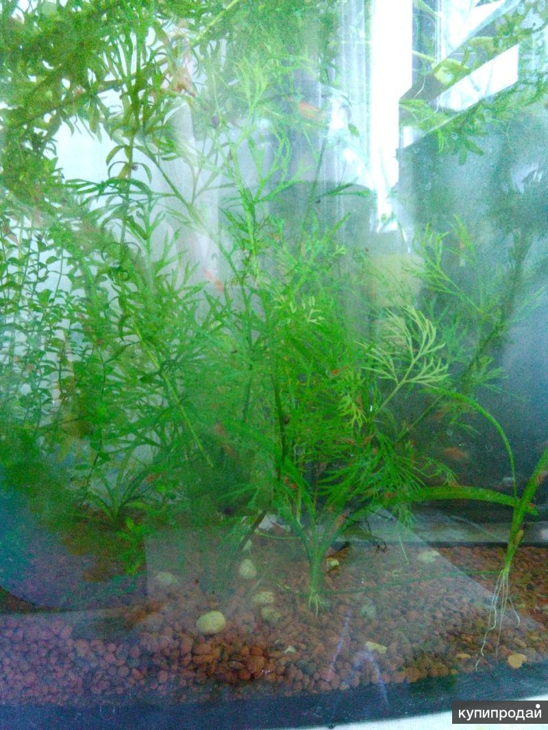 Предлагаю аквариумных вишневых креветок
