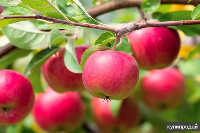 Прививаем плодовые деревья в Иркутске