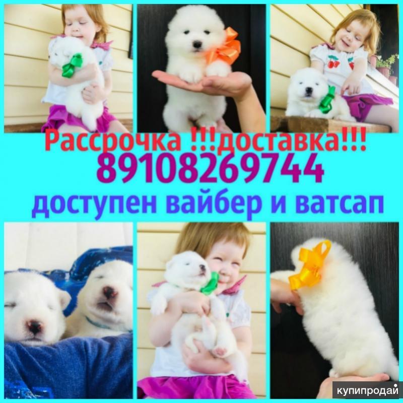"""Белоснежные """"мишки"""" самоедики"""