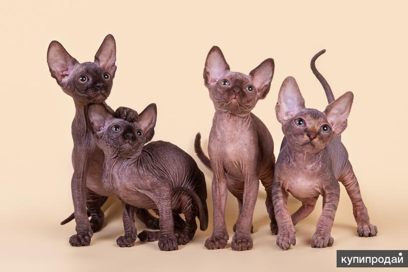 Волшебный котёнок Эльф, бамбино, двэльф, канадский сфинкс.