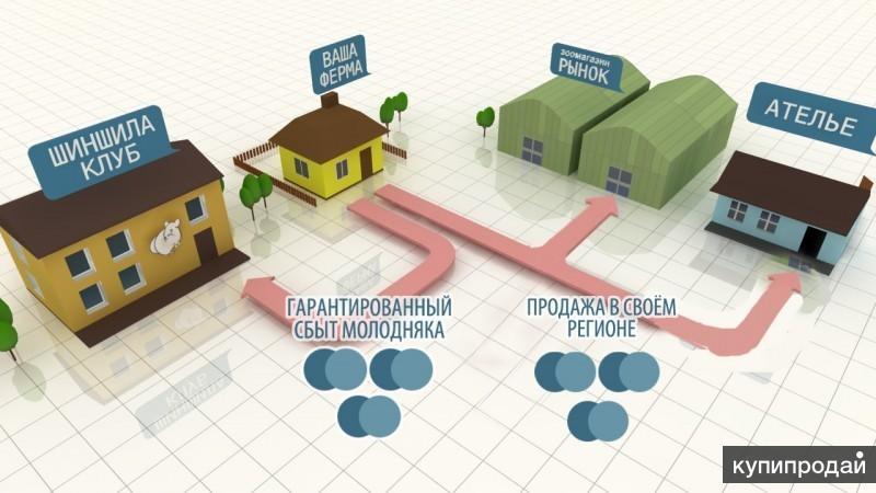 Работа на дому - разведение шиншилл
