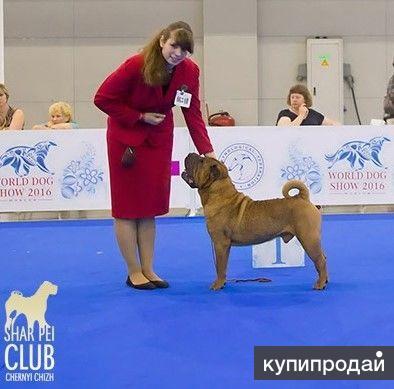 Шар-пей щенки от Чемпиона Мира 2016.