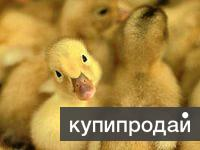 Молодняк домашней птицы