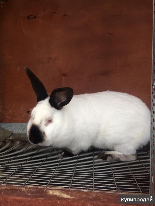 Кролики Калифорнийской породы.