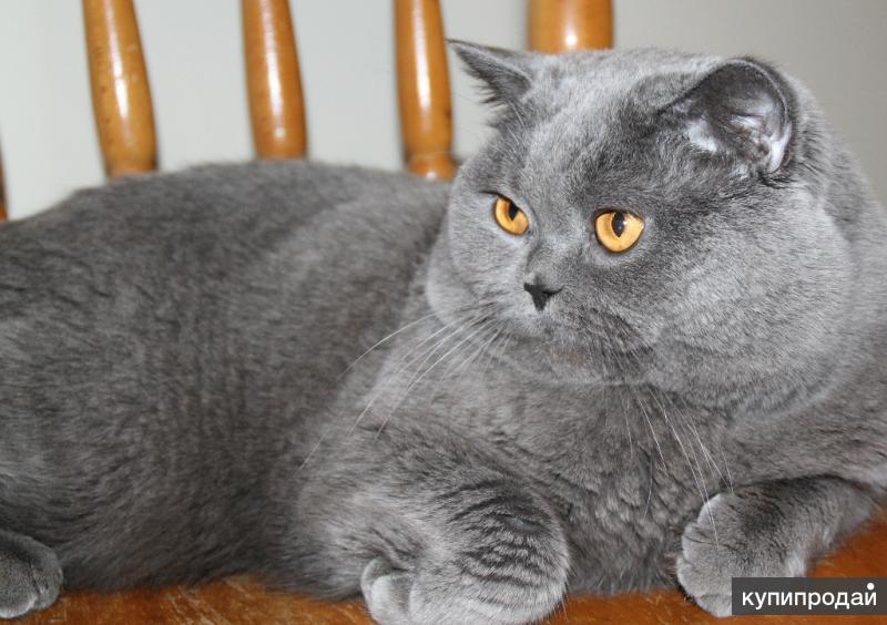 Вязка с Британским котом. Опытный. Родословная