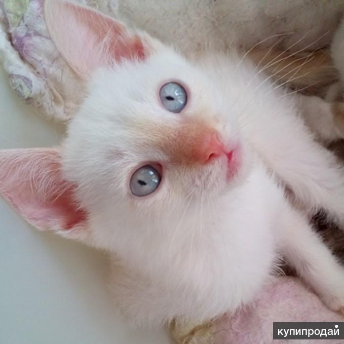 Замечательный котеной Тайский RED POINT