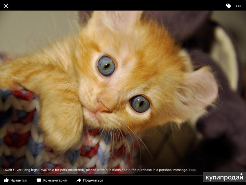 Эксклюзивный котик американский керл