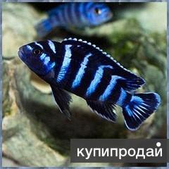 ПСЕВДОТРОФЕУС ДЕМАСОНИ (Pseudotropheus demasoni)